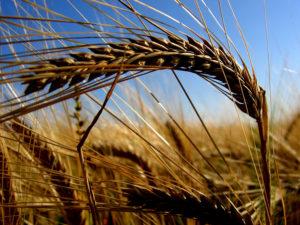 Grain-of-Fallen-Wheat2