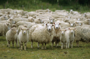 ca. 2004, New Zealand, Pacific --- Flock of sheep, New Zealand, Pacific --- Image by © Mula Eshet/Robert Harding World Imagery/Corbis